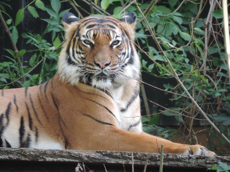 Da schaut der Tiger