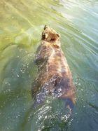 Da schwimmt er dahin, der Dicke ;-)