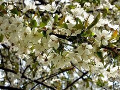 ...da sotto il ciliegio fiorito , Buona Pasqua