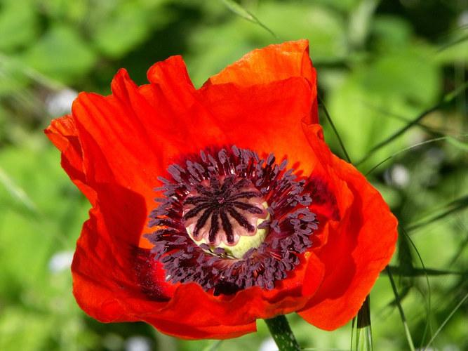 Da stand so eine Mohnblume plötzlich im Garten....