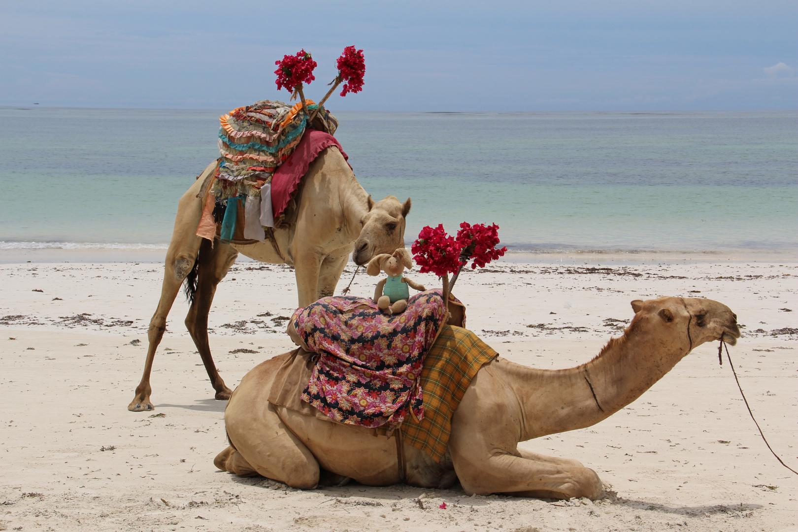 "Da staunt selbst das Kamel wegen des seltsamen ""Fahrgastes""."