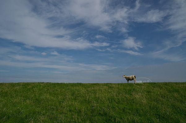 Da steht 'n Schaf auf'm Deich
