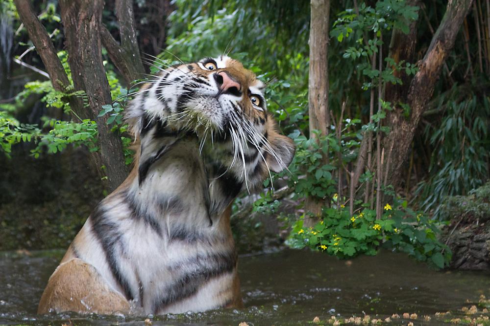 Da wird der Tiger in der Wanne verrückt! ;-)