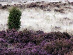 ... da, wo die Heide rauscht ...