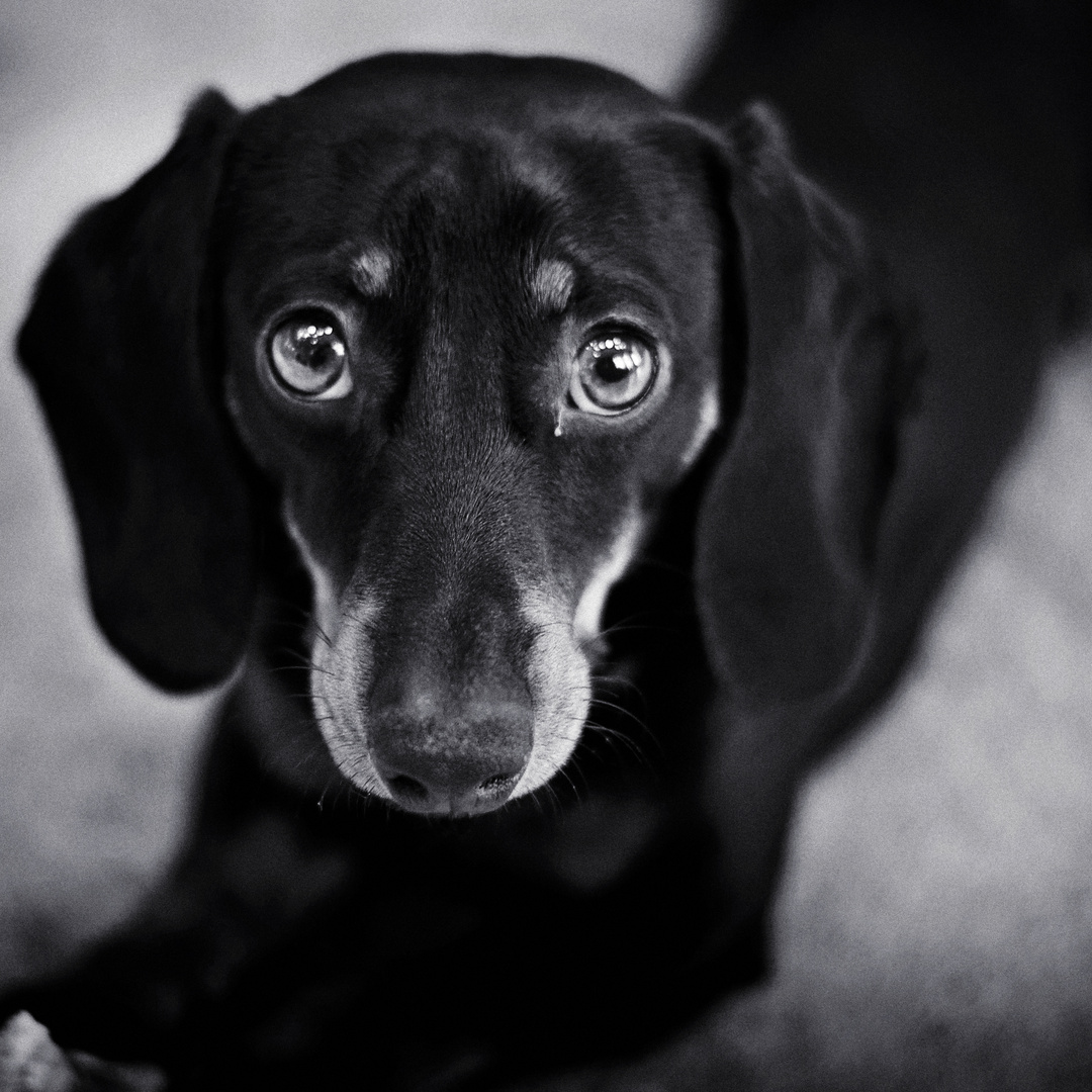 dachshund eyes