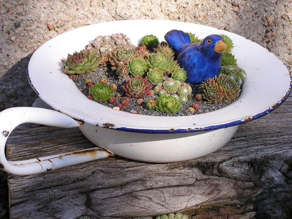 dachwurz in bettpfanne foto bild pflanzen pilze. Black Bedroom Furniture Sets. Home Design Ideas