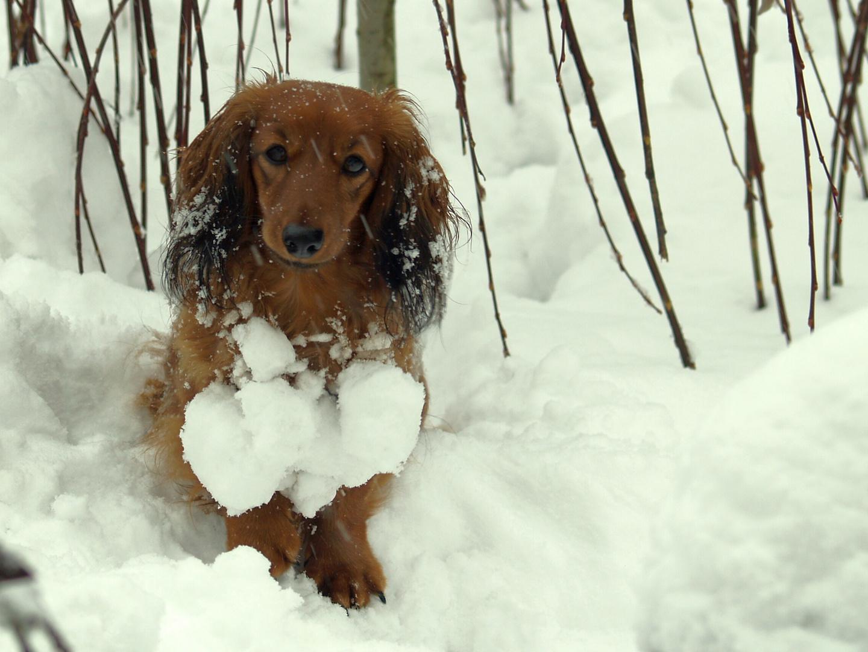Dackel Schnee