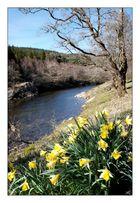 Daffodils in Glen Orchy