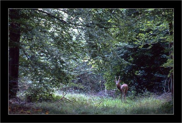 Daguet en forêt de Compiegne,mi Septembre
