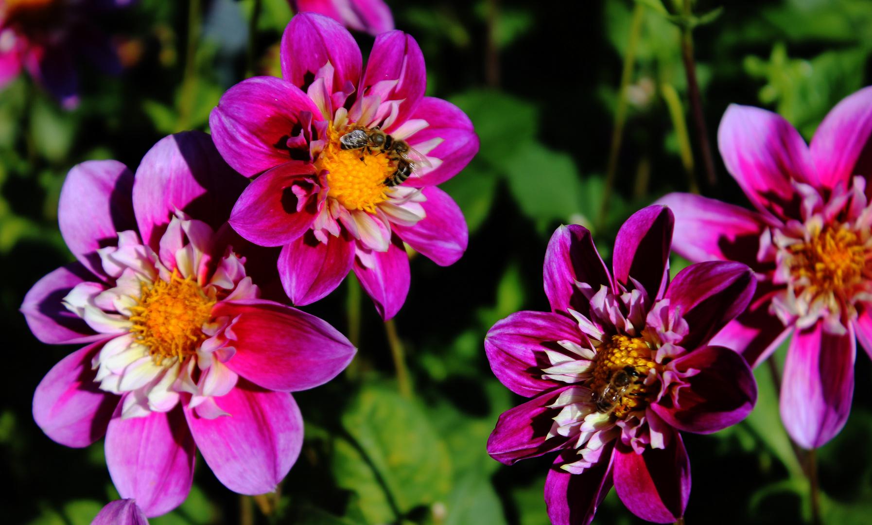 Dahlia Blütenmeer Halskrause-Dahlie