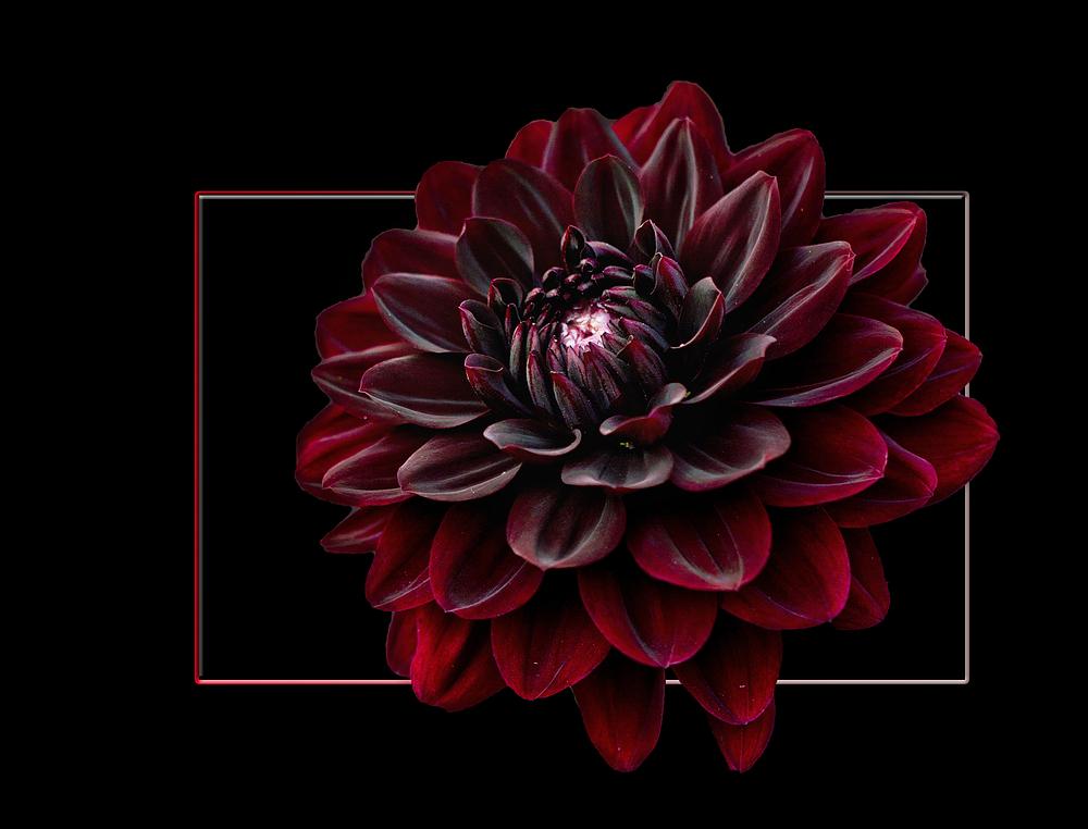 dahlia noir fleur | la pilounette