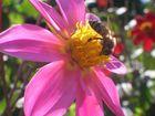 Dahlia rose lila
