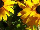 Dahlias, couleur soleil