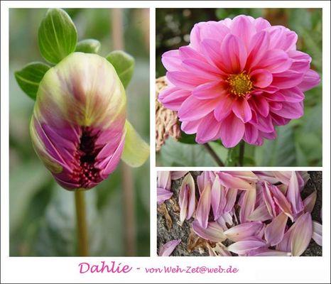 Dahlie