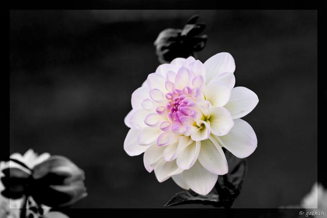 Dahlie Black&White
