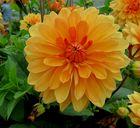 Dahlie -die Königin der Herbstblüten
