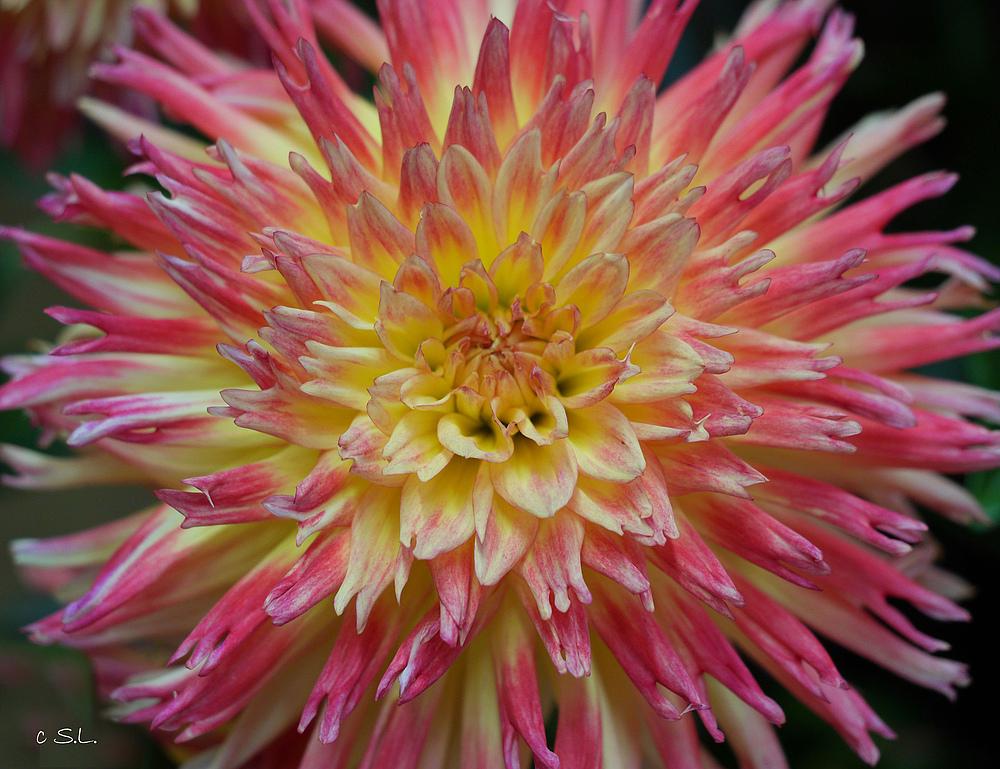 Dahlie gelb-pinkfarben