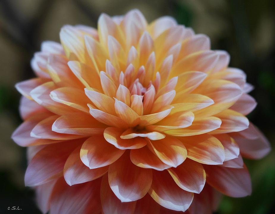 Dahlie gelb-rose