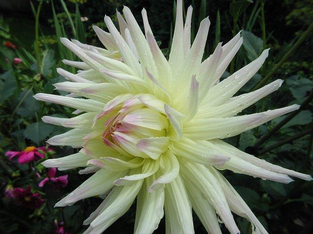 Dahlie in Blüte