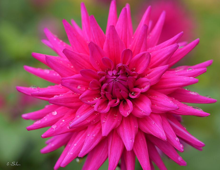 Dahlie pinkfarben