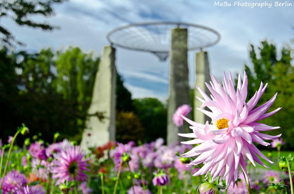 Dahlien - Blütenpracht im Garten