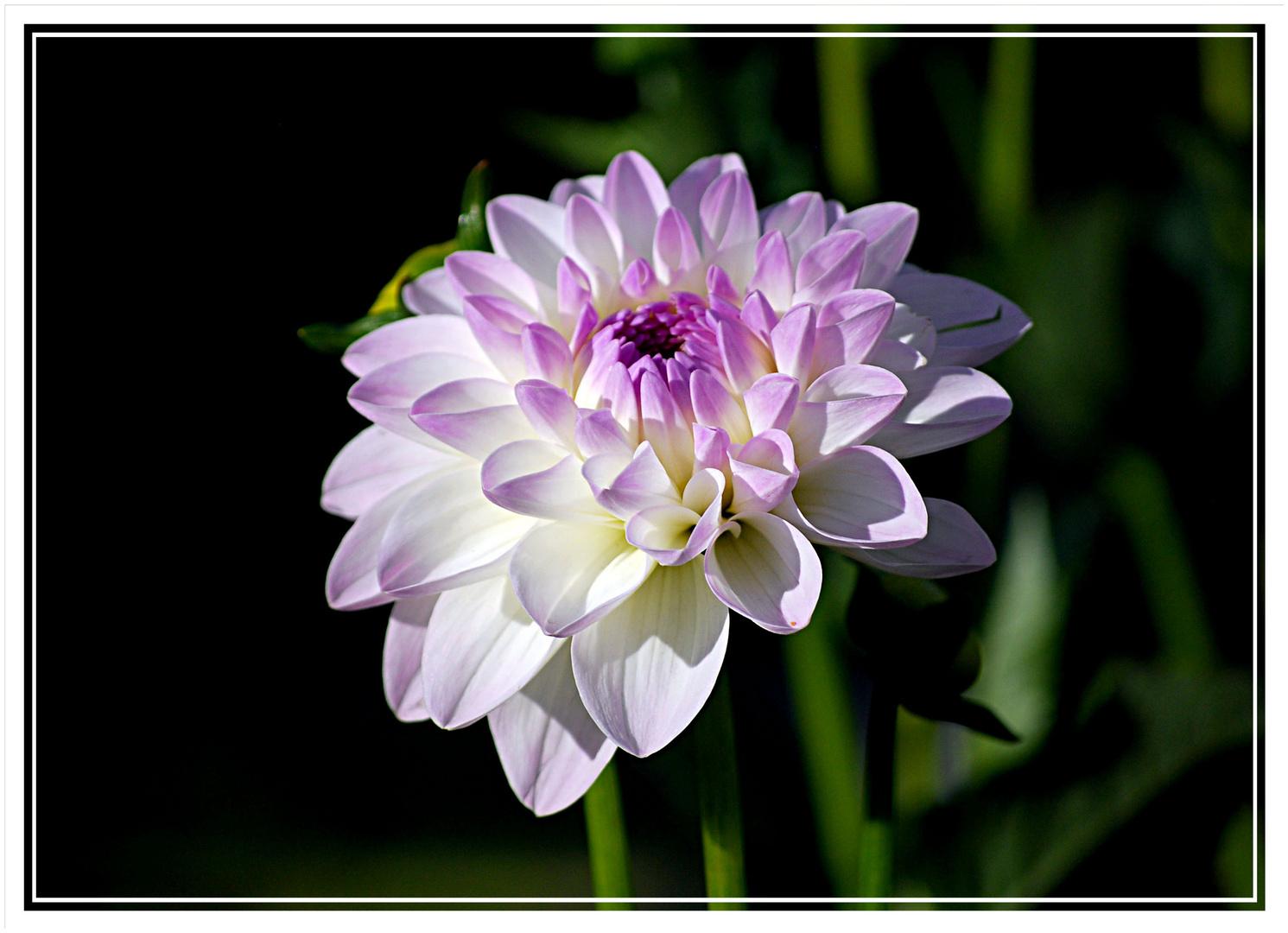 Dahlien-Blume