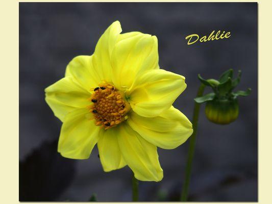 Dahlienblüte. die 1.