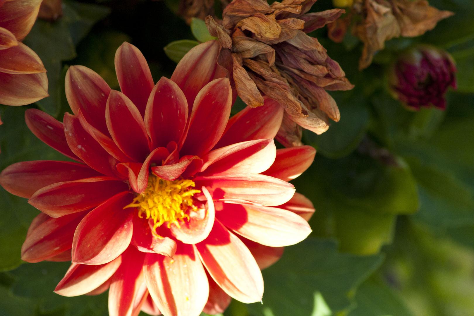 Dahlienblüte2