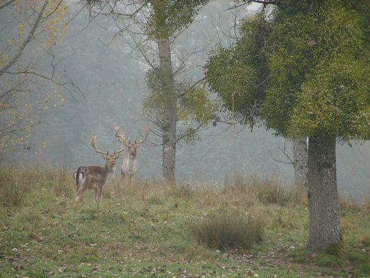 Daims dans la brume matinale