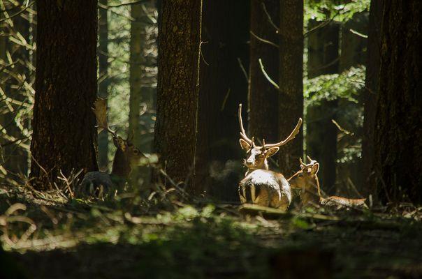 Daini sotto il raggio di sole 2. Deer under the ray of sunshine 2.