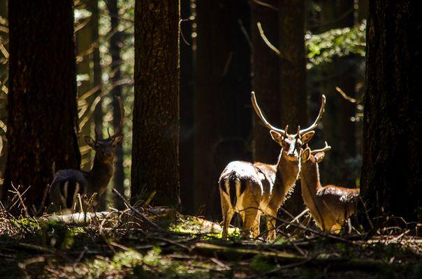 Daini sotto il raggio di sole. Deer under the ray of sunshine.