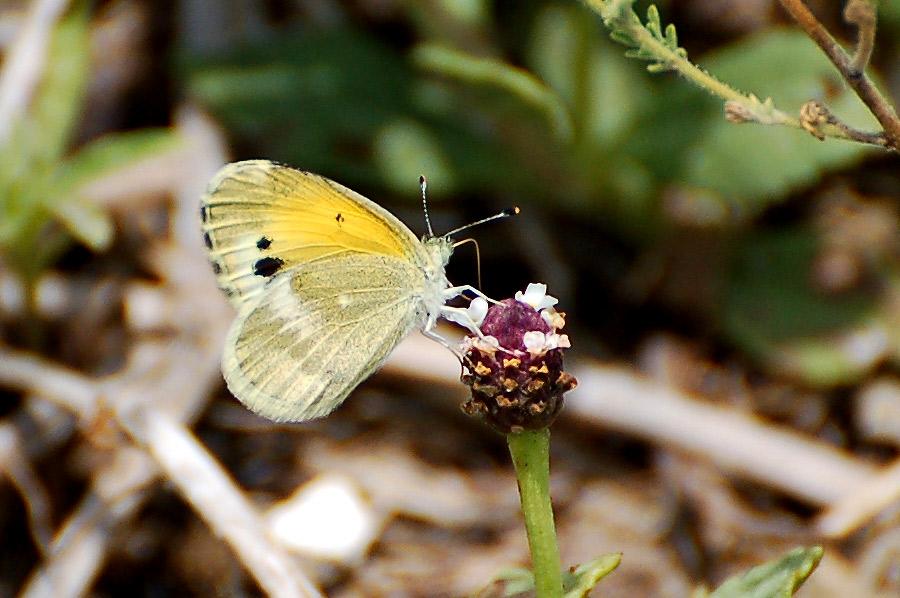 "Dainty Sulphur - ""Dwarf Yellow"" (Nathalis iole)"