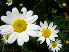Daisies stepping down