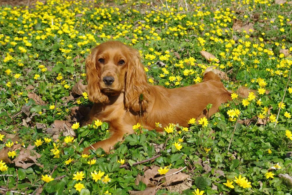 Daisy le cocker