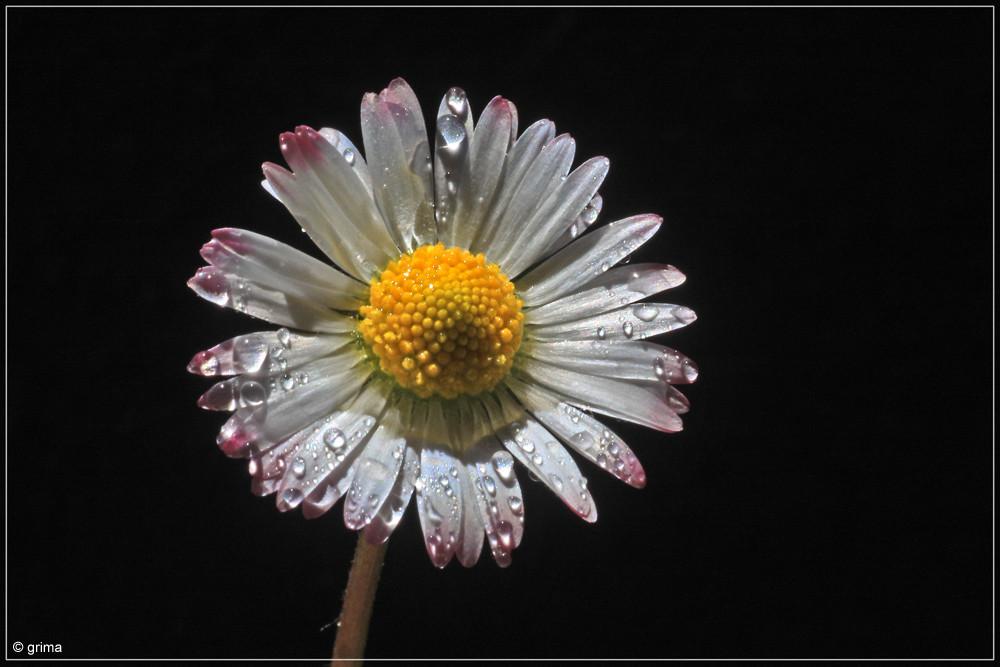 daisy nr 3
