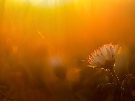 *** Daisy-Sonnenuntergangsromantik ***