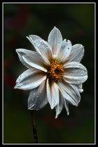 Dalia blanca