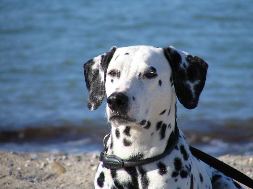 Dalmatiner am Meer
