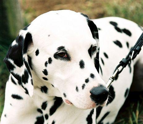 Dalmatiner auf einem Reitturnier