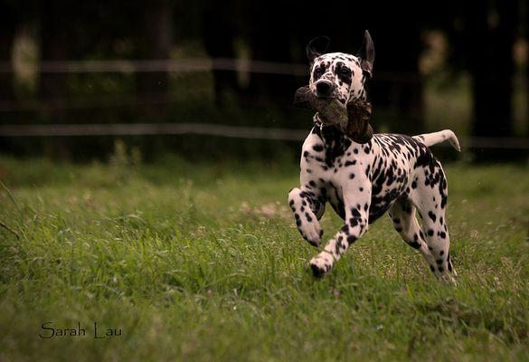 *Dalmatiner*