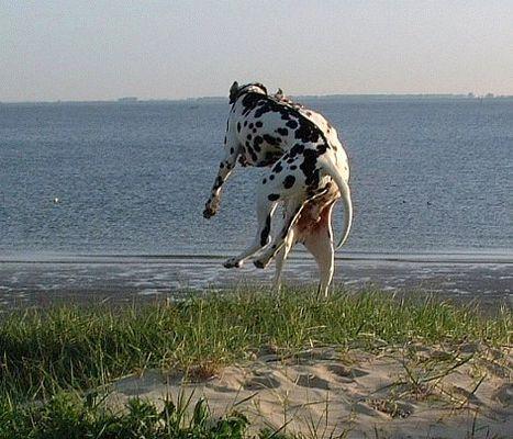 Dalmatiner-Hochsprung