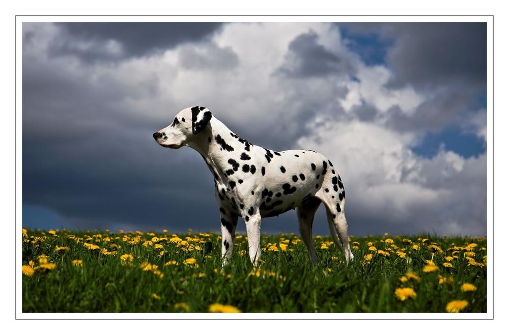 Dalmatiner im Löwenzahn