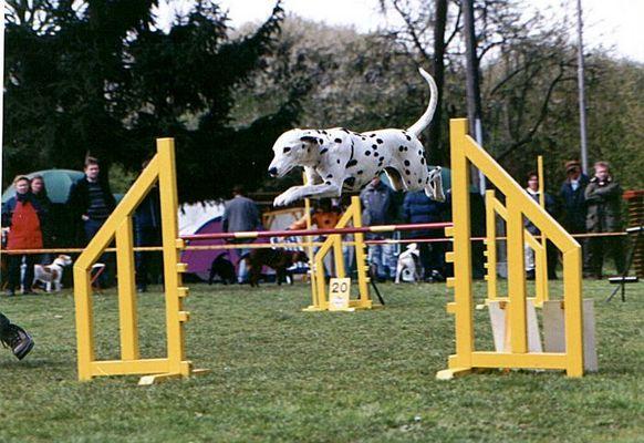Dalmatiner im Sprung
