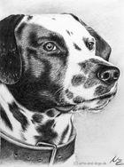 Dalmatiner Porträt