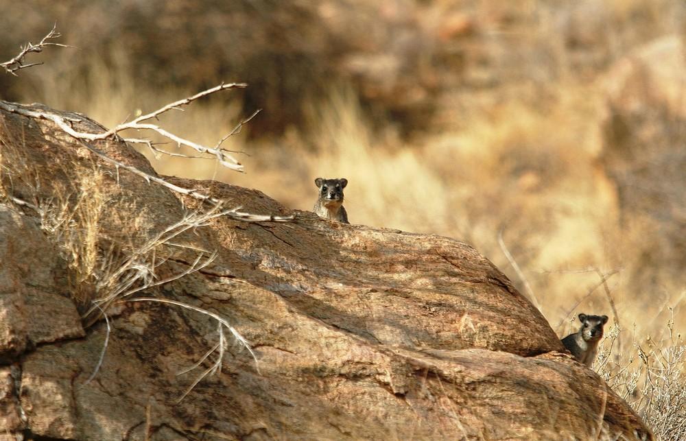 Daman des rochers - Samburu / Kenya - Curieux !