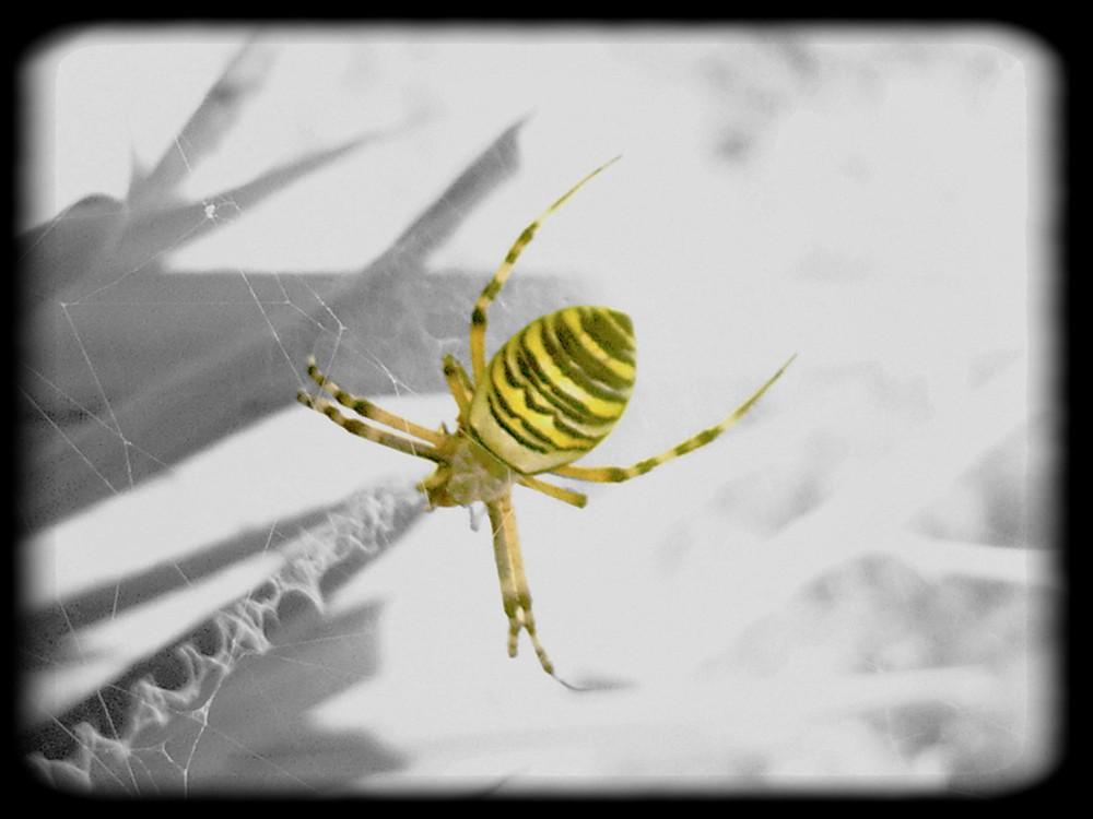 dame araignée vetue de jaune et noir