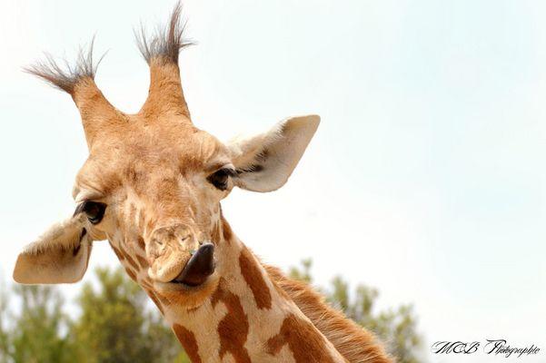 Dame girafe fait la grimace