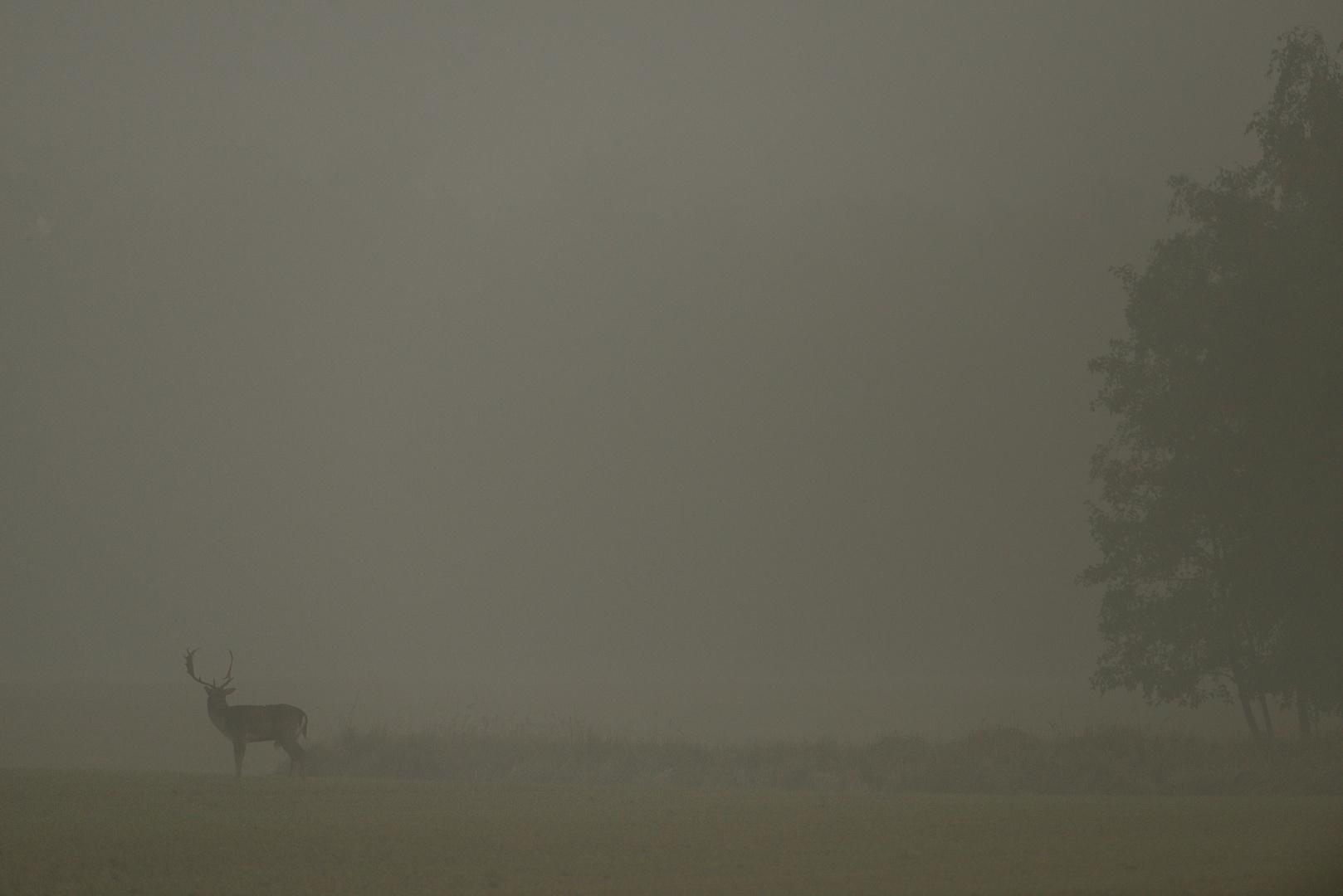 Damhirsch im Morgennebel