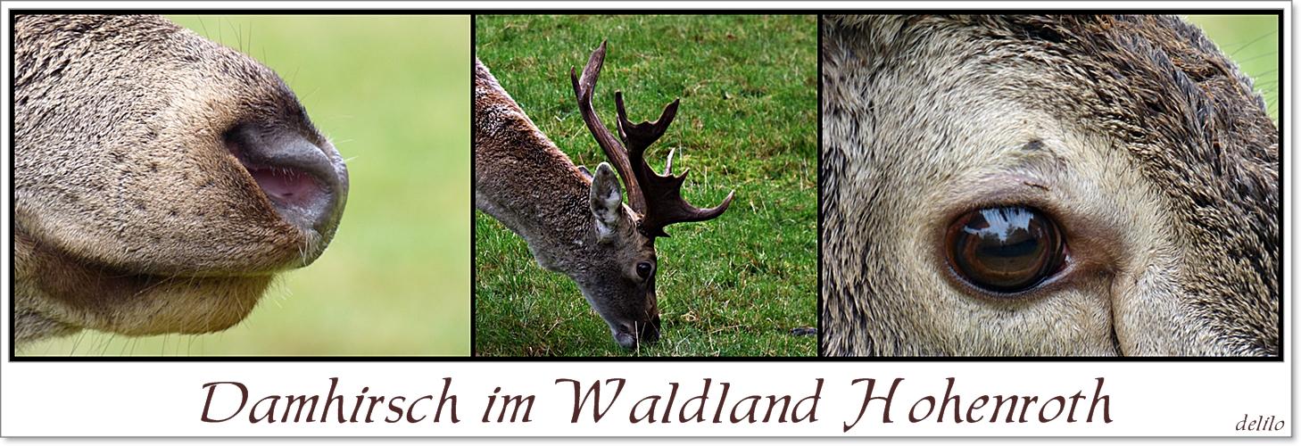 Damhirsch im Waldland Hohenroth