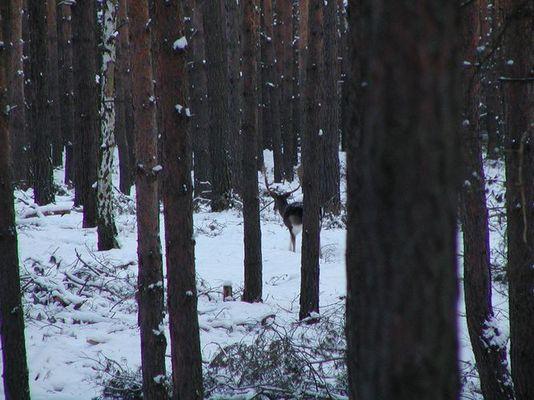 Damhirsch im Winterwald